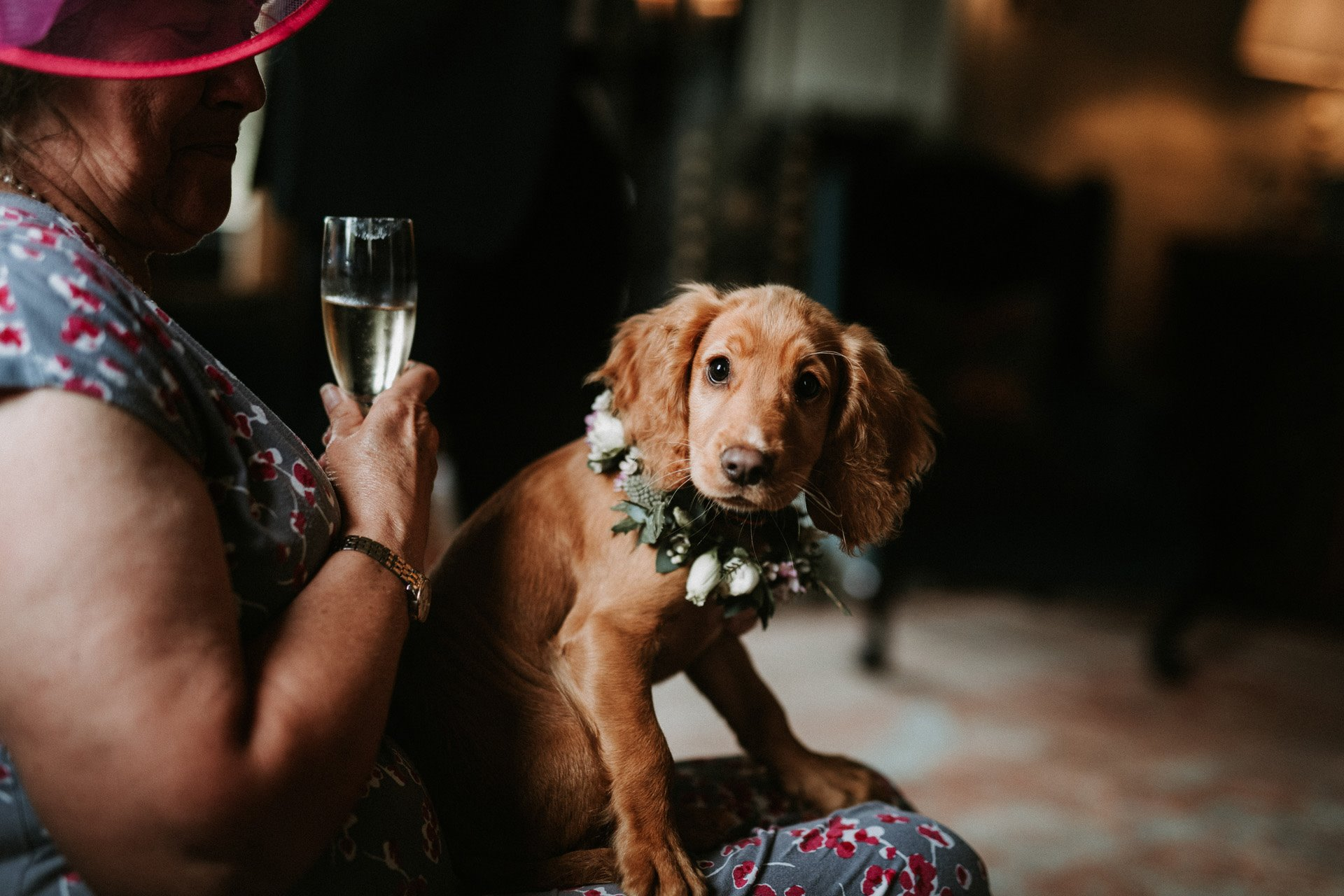 Cute Puppy bridesmaid wearing flower collar sits on a guests knee at a micro wedding at elmore court