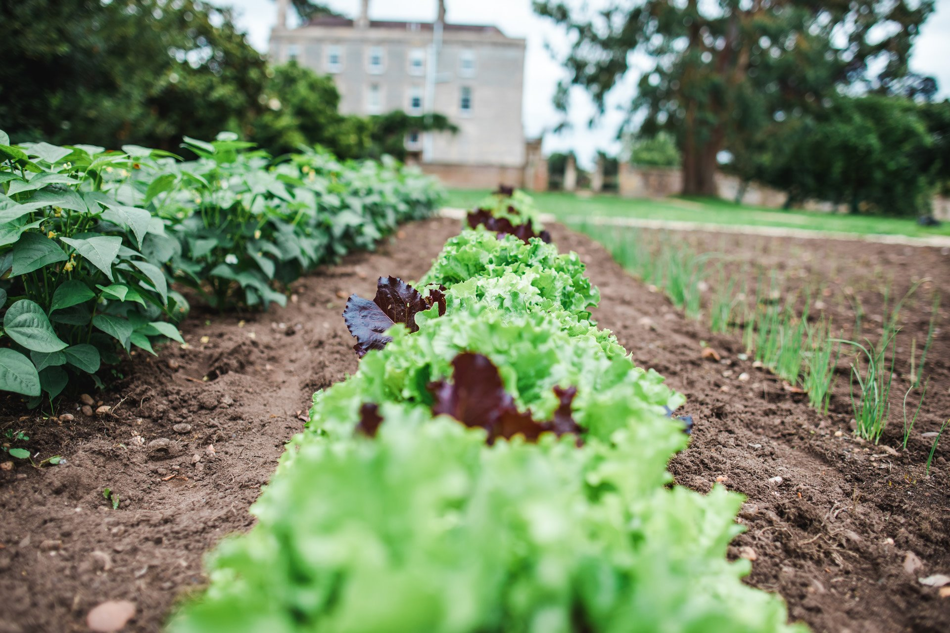 Lettuces in neat rows growing in the walled garden at Elmore Court ready for summer salads on the wedding menu